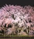 心と身体の癒す大名庭園の夜空に浮かぶしだれ桜を都内で堪能できる場所